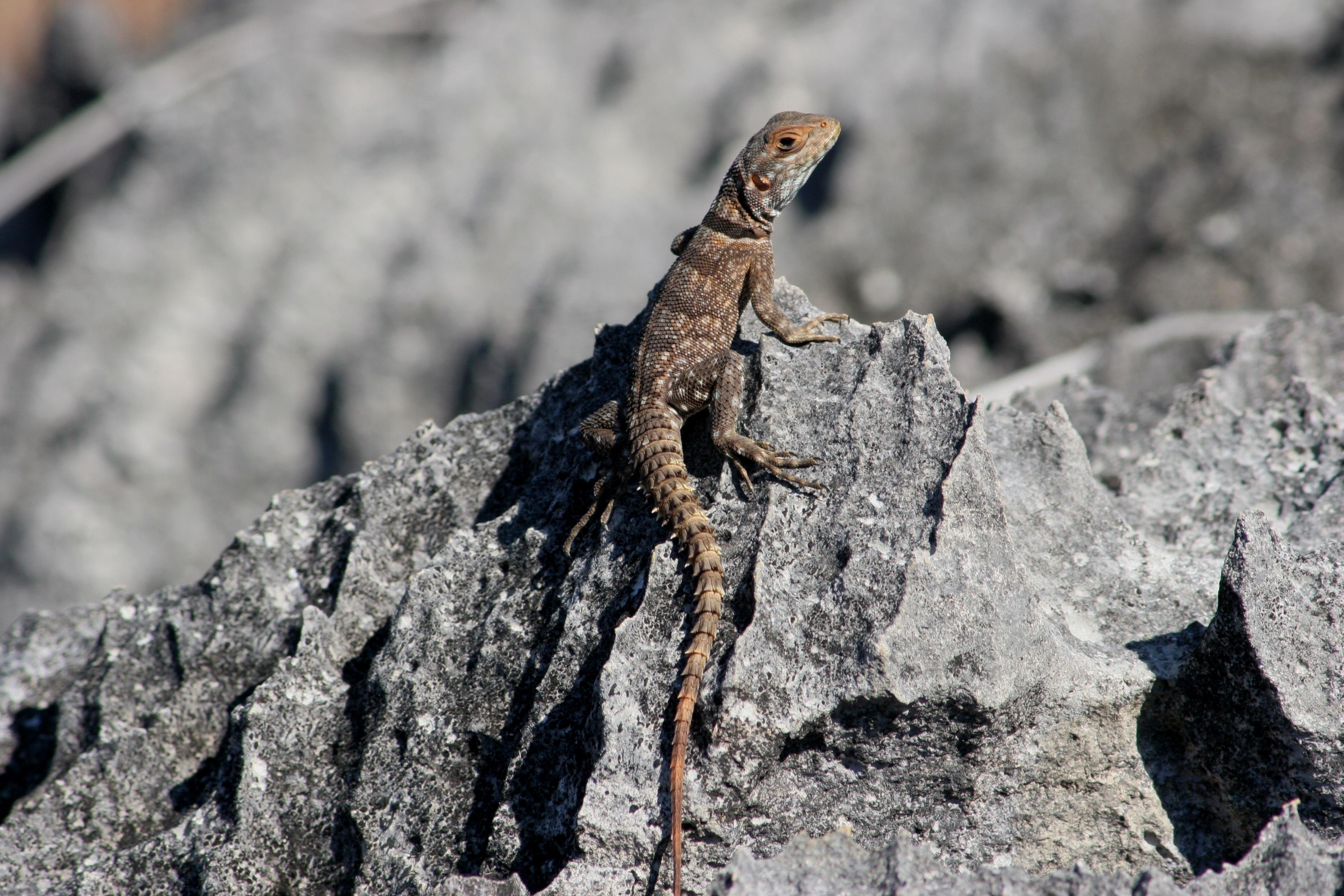 Spike tailed lizard
