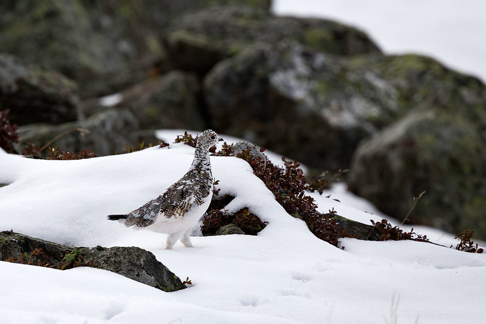 A rock ptarmigan struts down a snowy slope on a mountain pass in France.