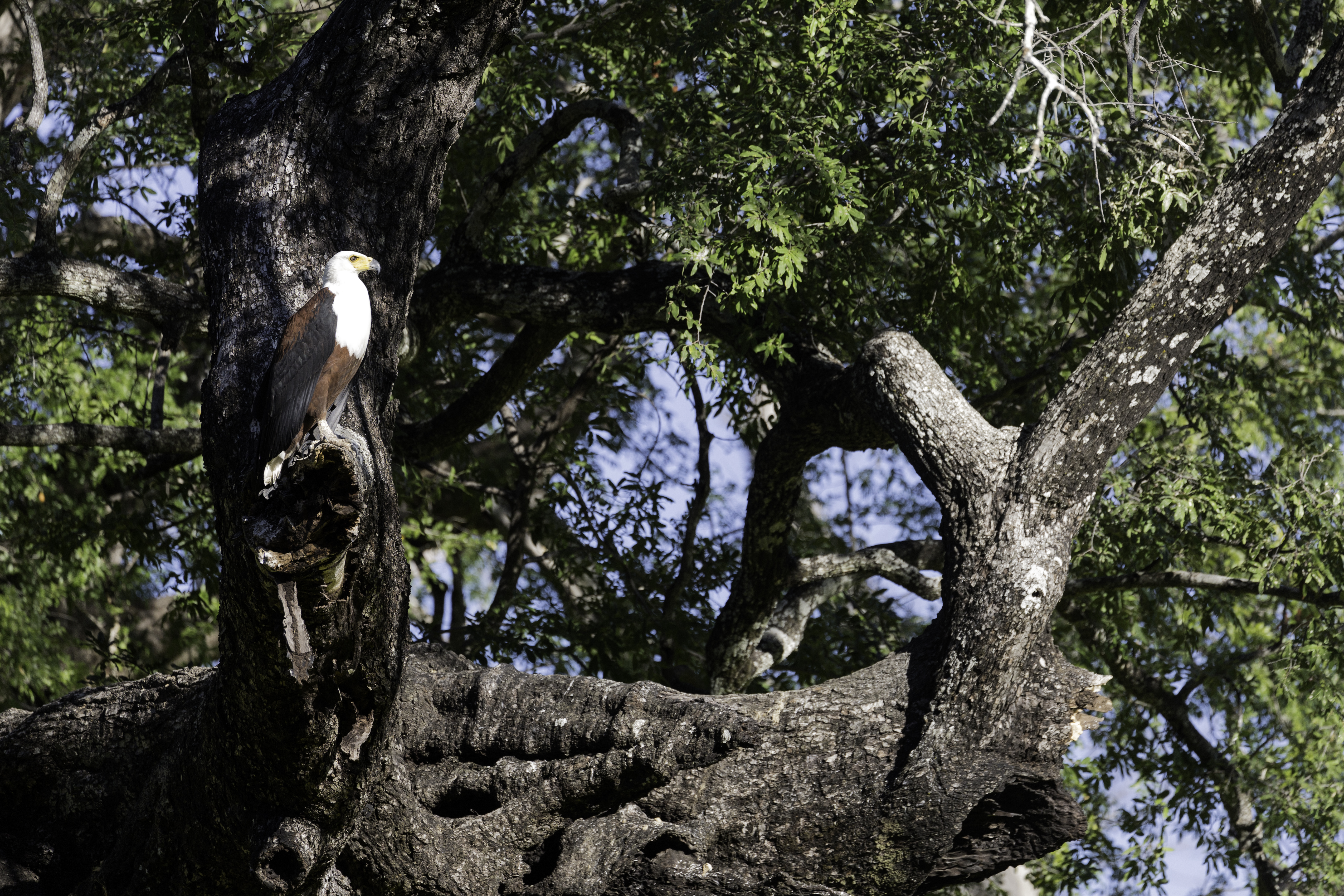 ManaPools African fishing eagle