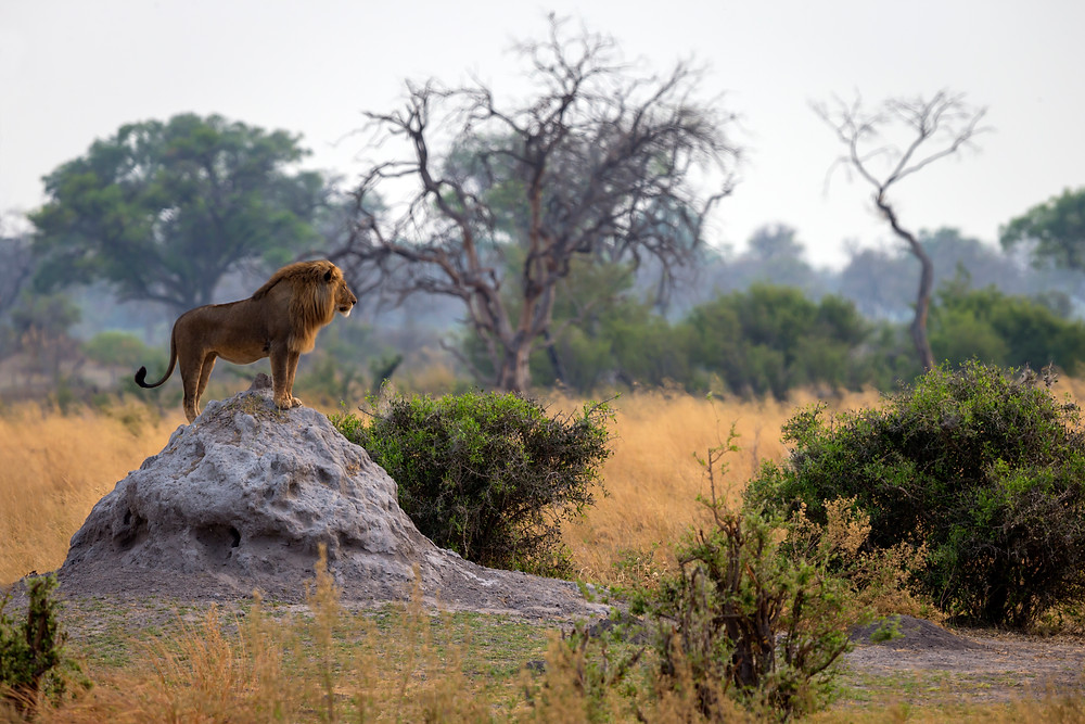 A magnificent male lion surveys his territory from atop a termite mound, Kwando, Botswana