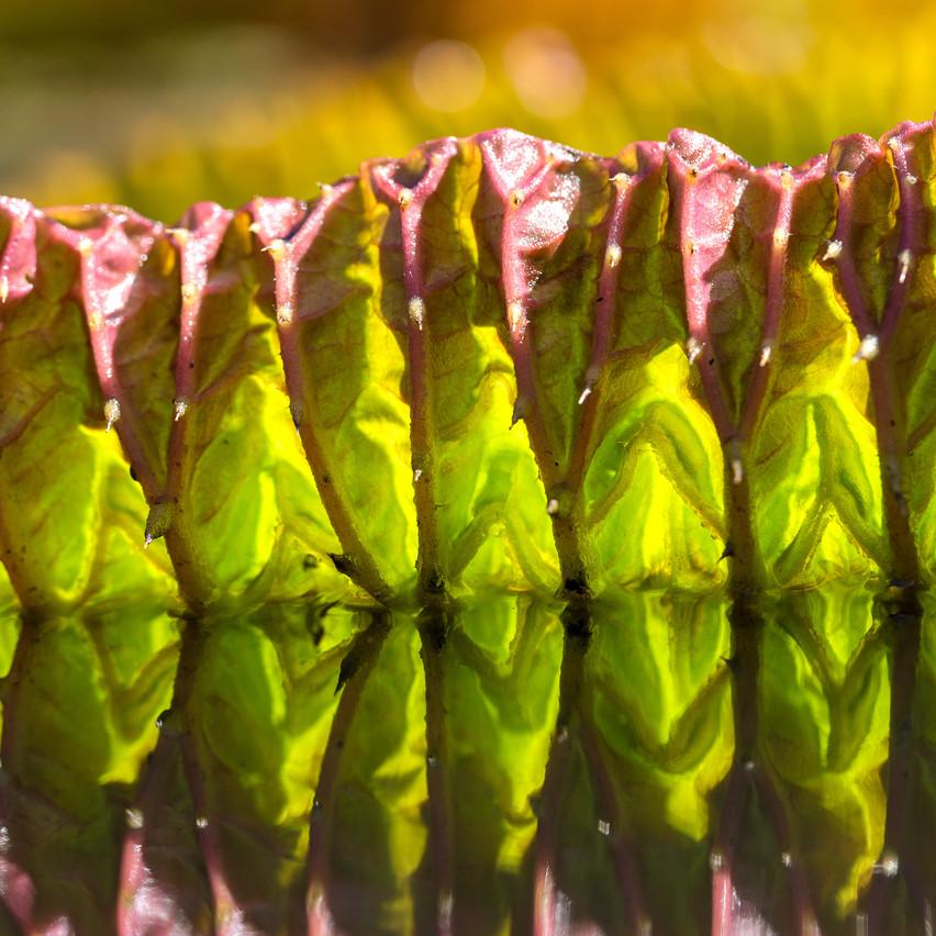 Lily leaf 4