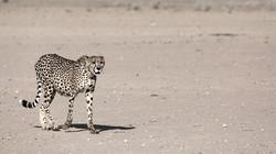 KTP Cheetah