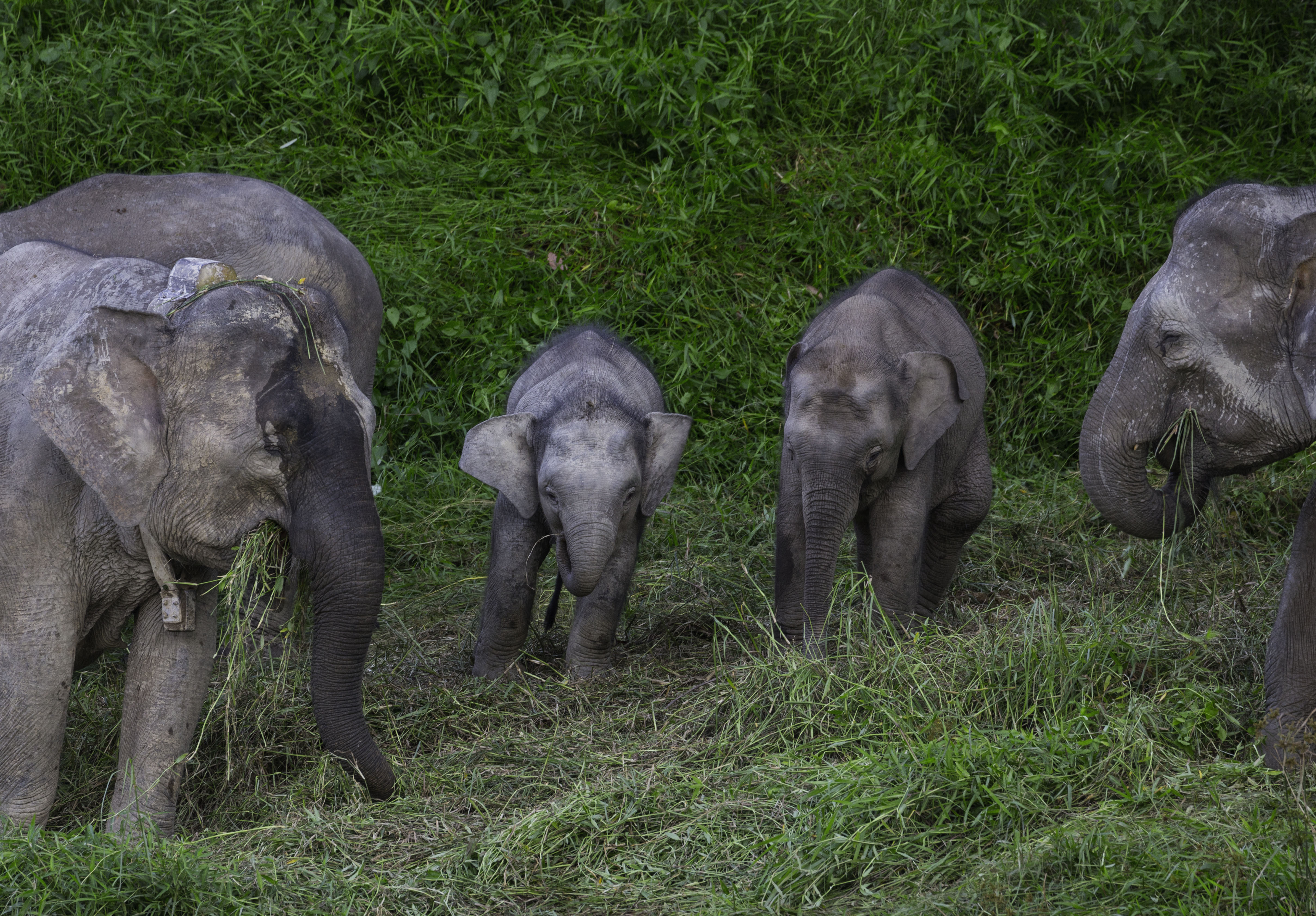Young elephants on the Kinabatan
