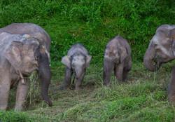 Young elephants on the Kinabatan