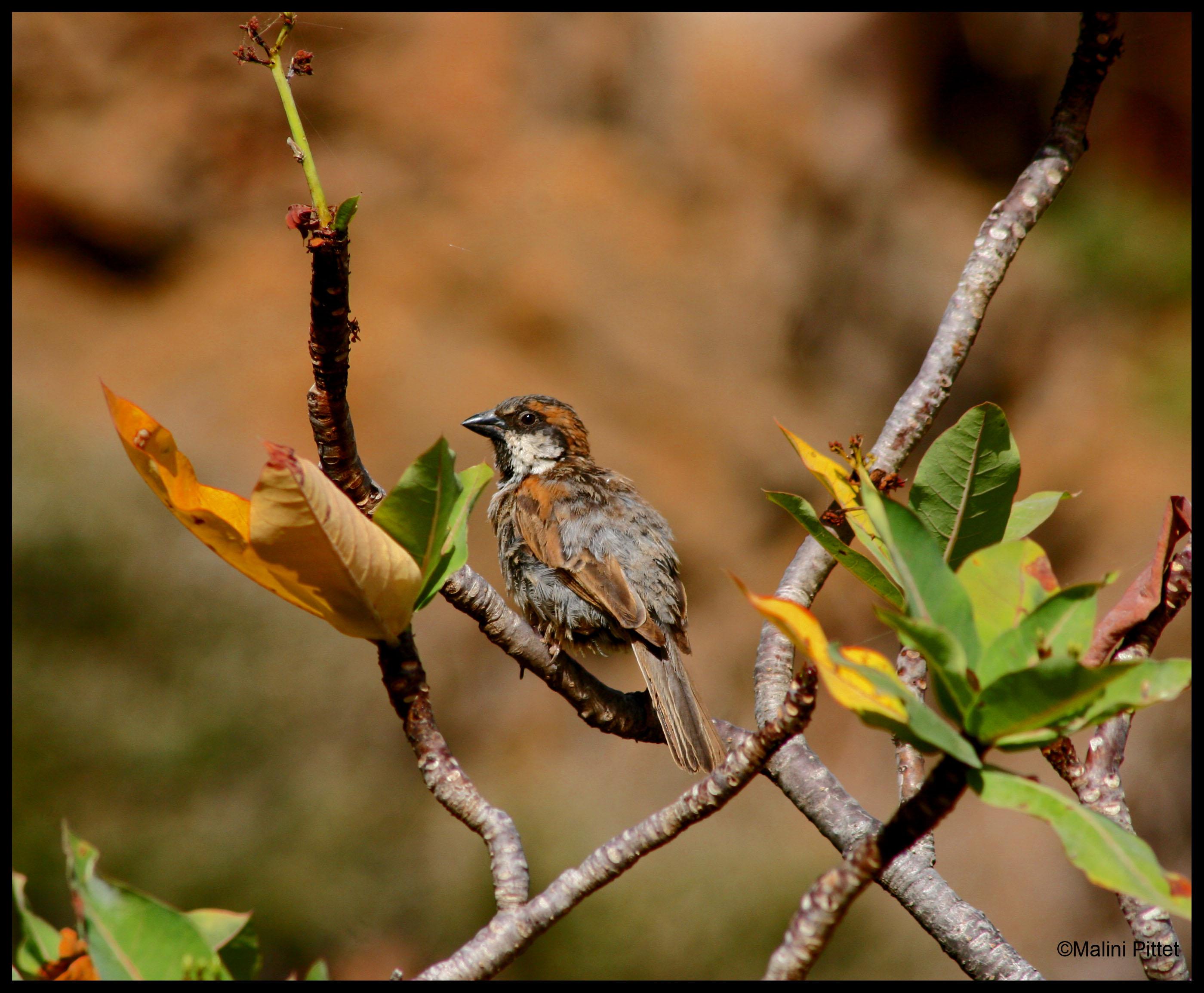 socotra sparrow