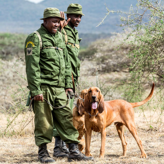 Tracker dogs in training