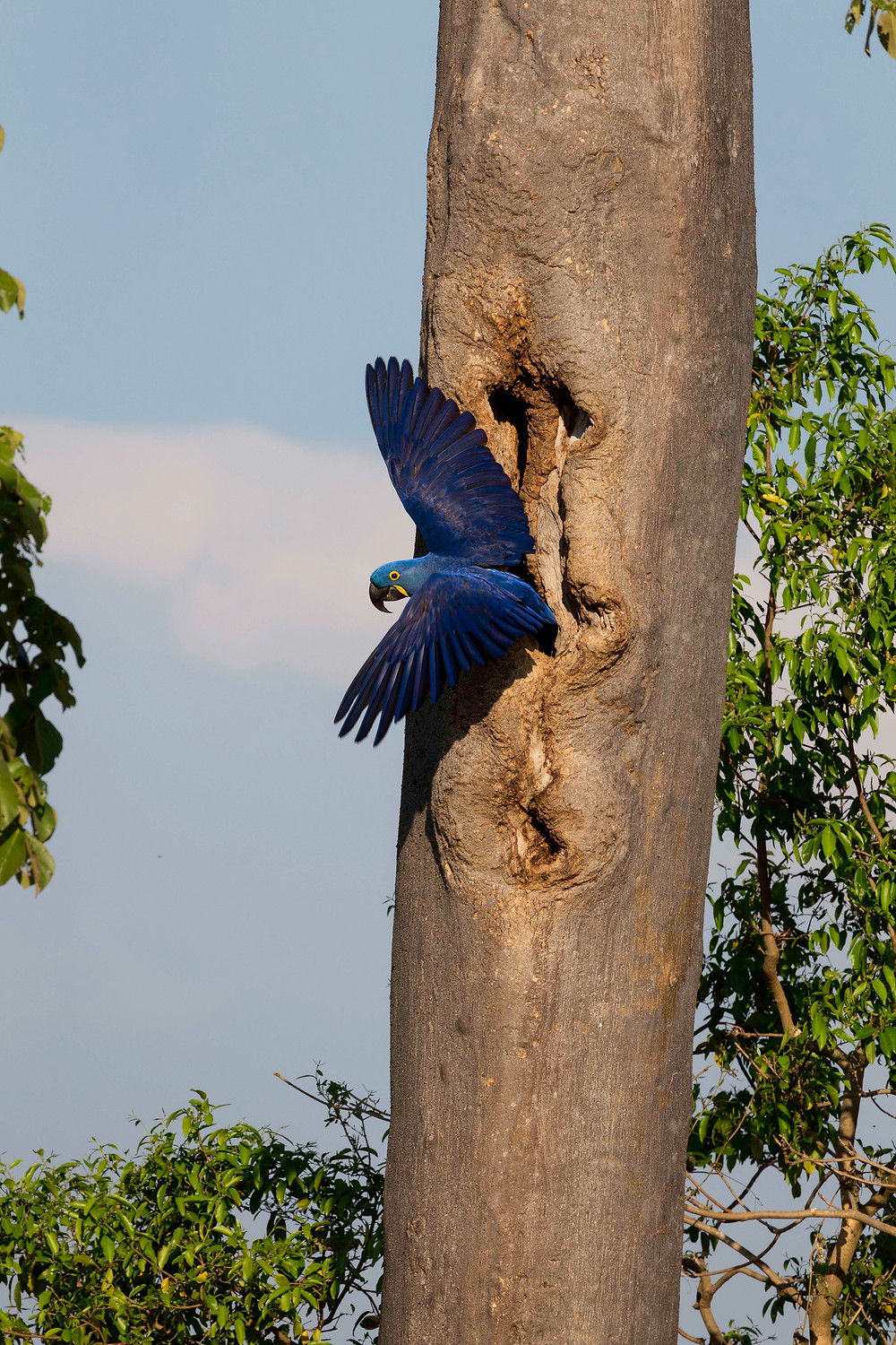 A Hyacinth Macaw exits a natural nesting hole...a rarity for this highly threatened species.