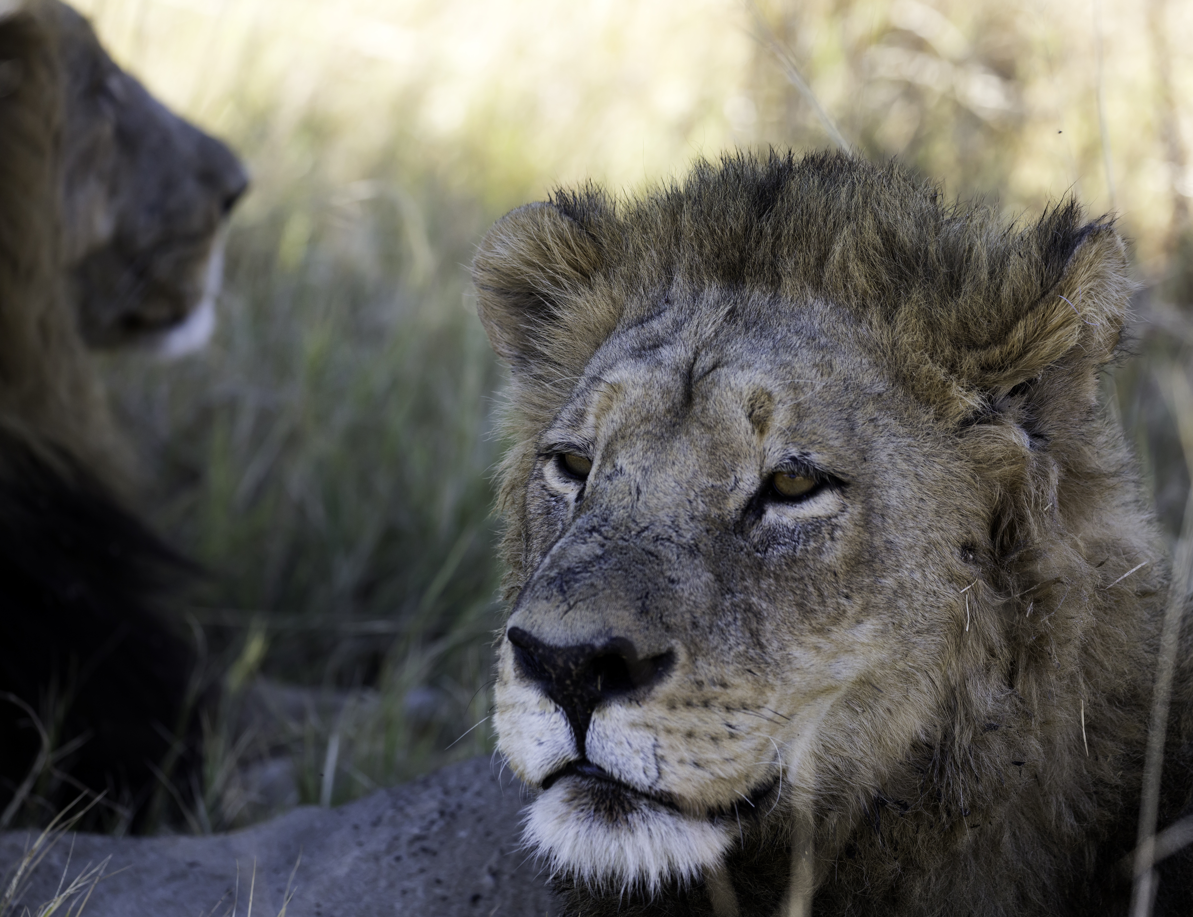 Xana Lion