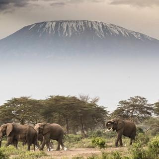 Magnificient elephants in Amboseli