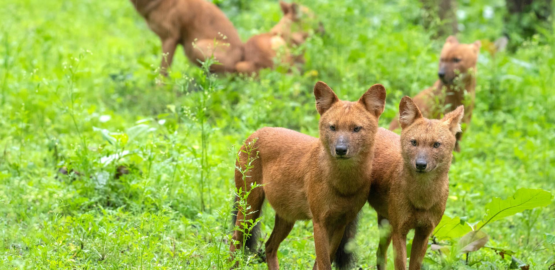 Wild dogs (02).jpg