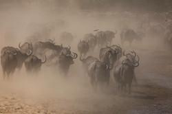 Chitake Springs buffalo