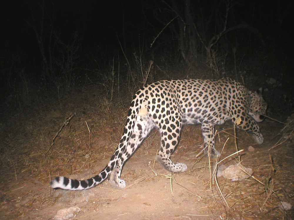 An Arabian leopard photographed in Hawf Protected Area....one of the last leopards in Yemen? © FEW Yemen