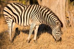 Lebala Zebra
