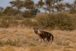 KTP Brown hyena