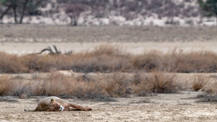 Lionesses versus jackals in the Kalahari