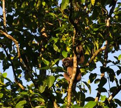 Muller's Bornean gibbon
