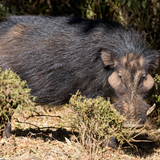Giant forest hog, Aberdare