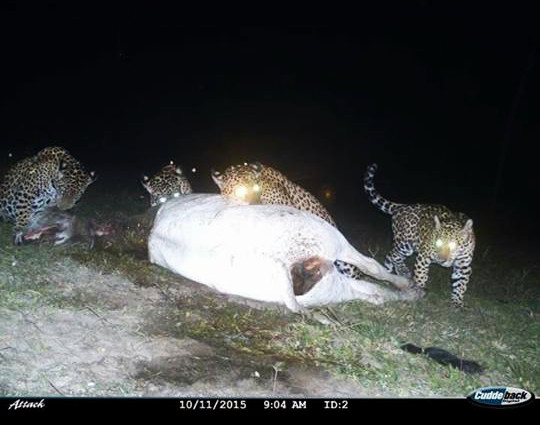 A breathtaking camera trap picture of a female jaguar and three nearly fully grown cubs on a kill on the Pousada Aguape farm. Picture courtesy Pousada Aguape/Fabiano Vargas.