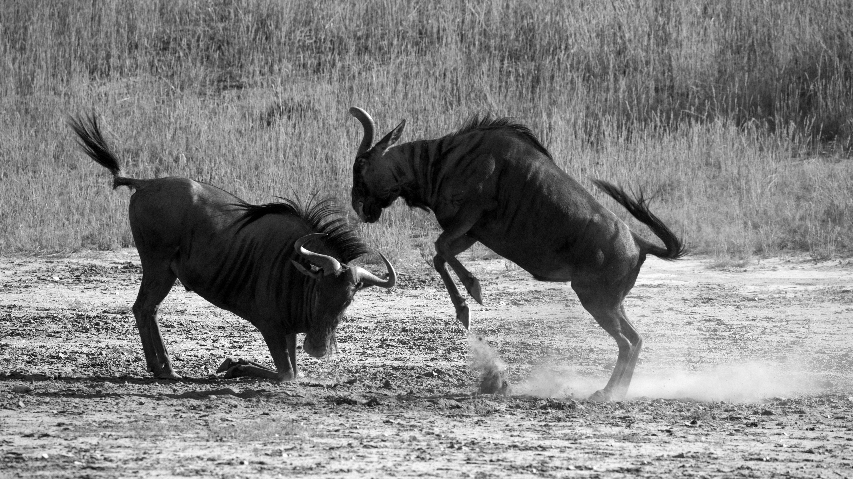 KTP Wildebeest
