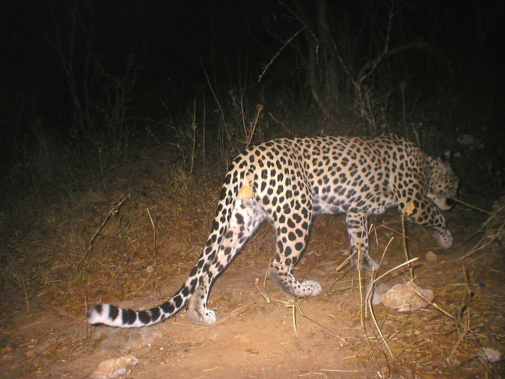 Arabian leopard photographed by a camera trap in Hawf. Copyright FEW, CEDT, India