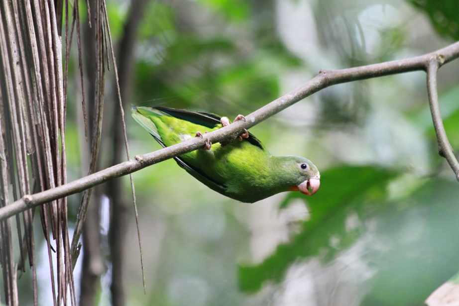 Hanging Parrot