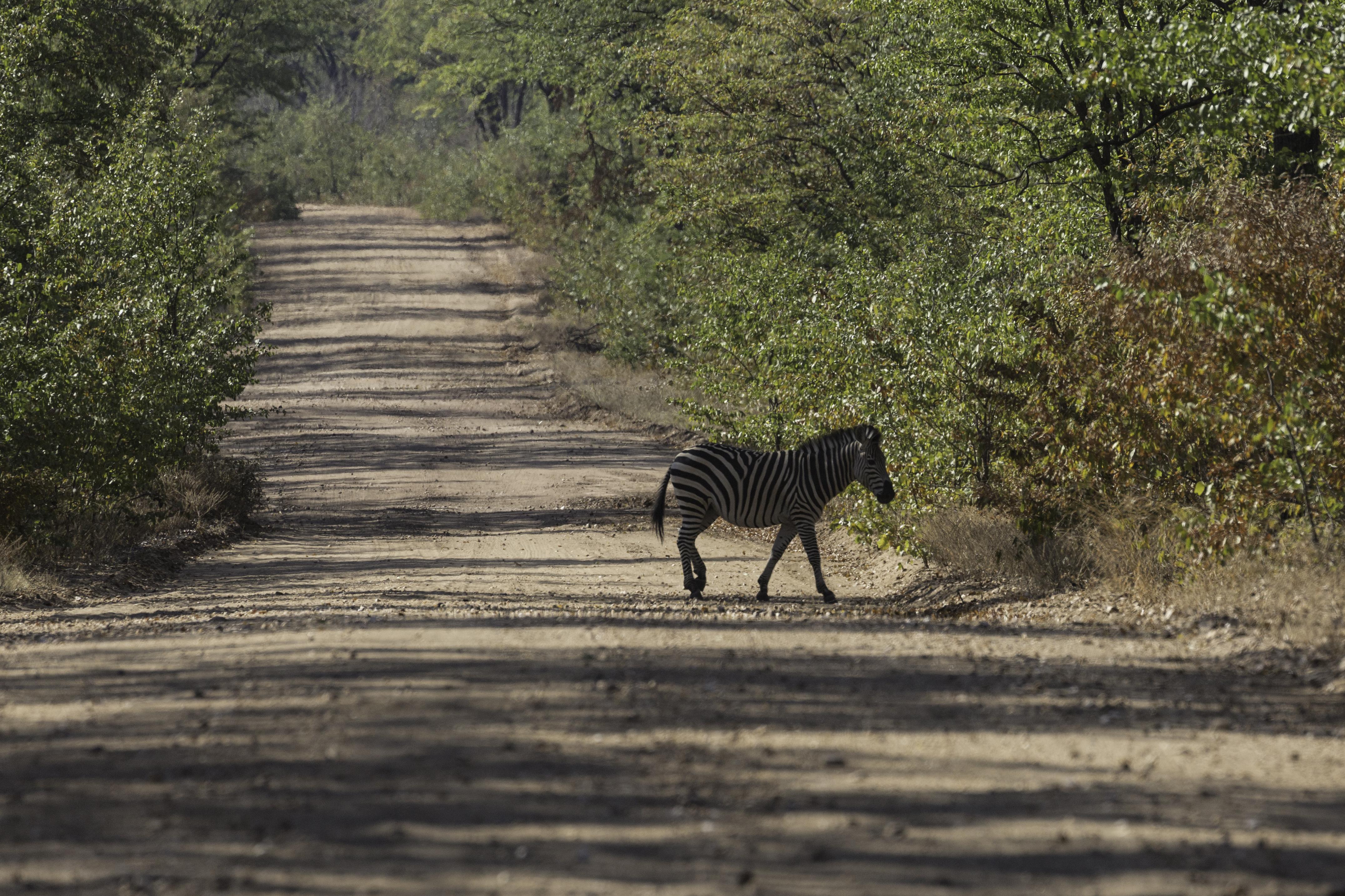 ManaPools Zebra crossing