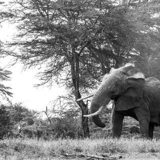 Magnificient elephant in Amboseli