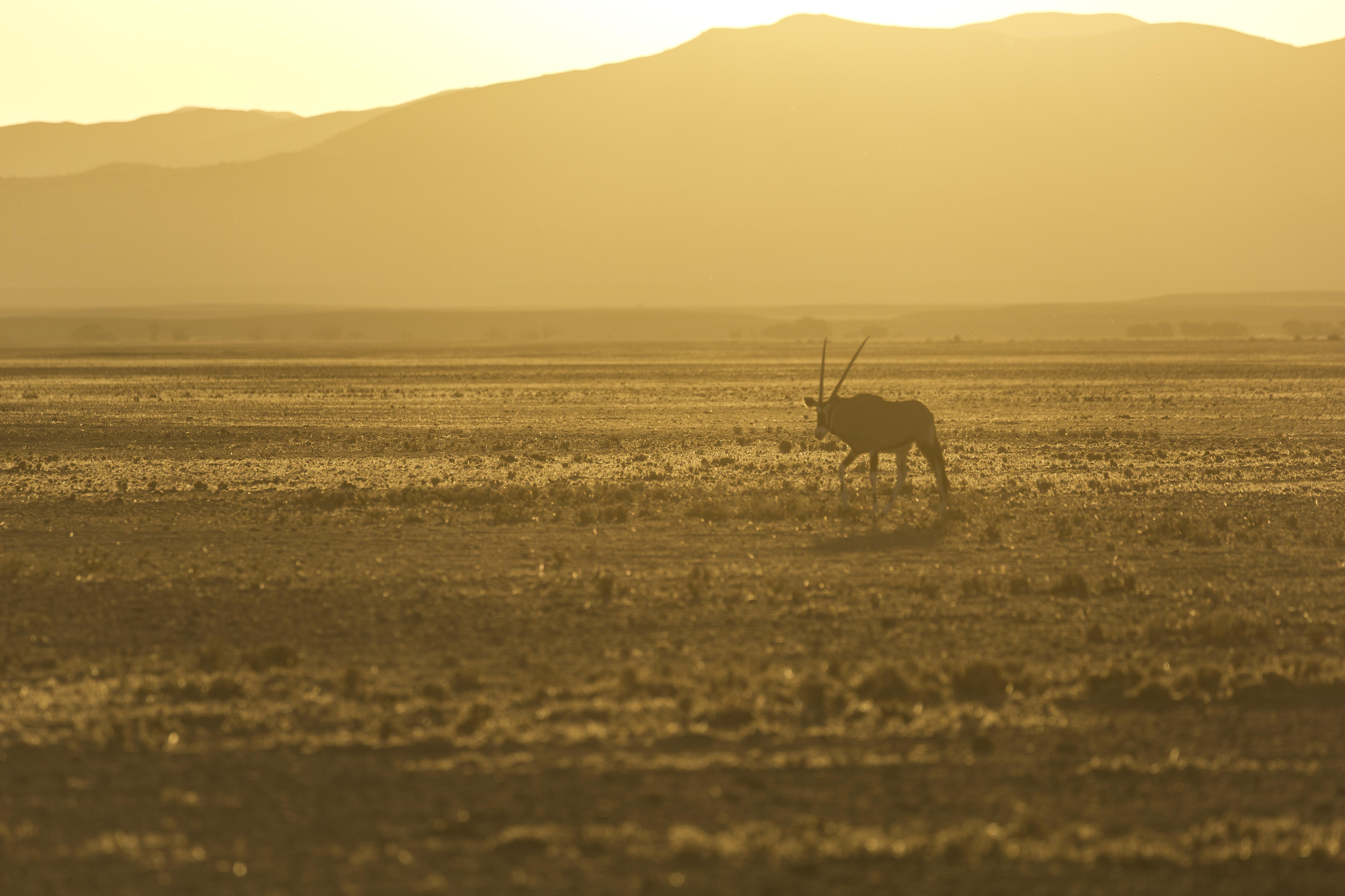 Oryx and sundowner