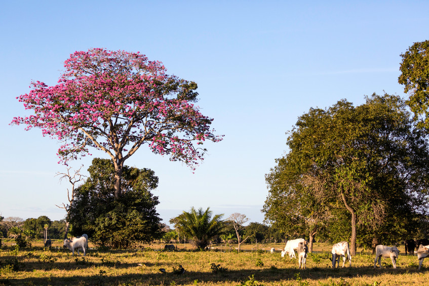 Cows and pink tree