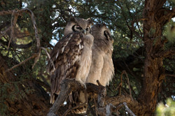 KTP Verraux's eagle owl