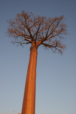 Baobab in the sunset