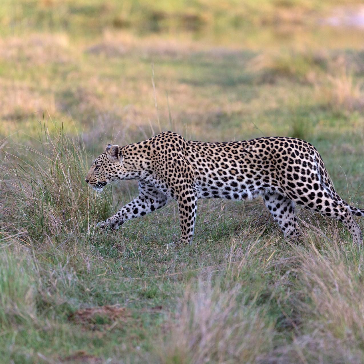 Leopard hunt 2