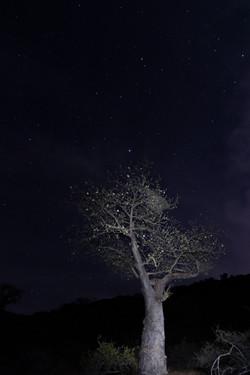 Flowering baobab at night