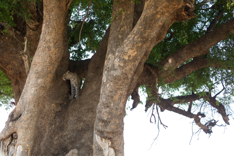 Mashatu tree