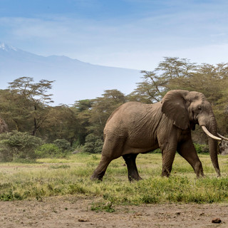 Magnificient elephant in Ol Donyo