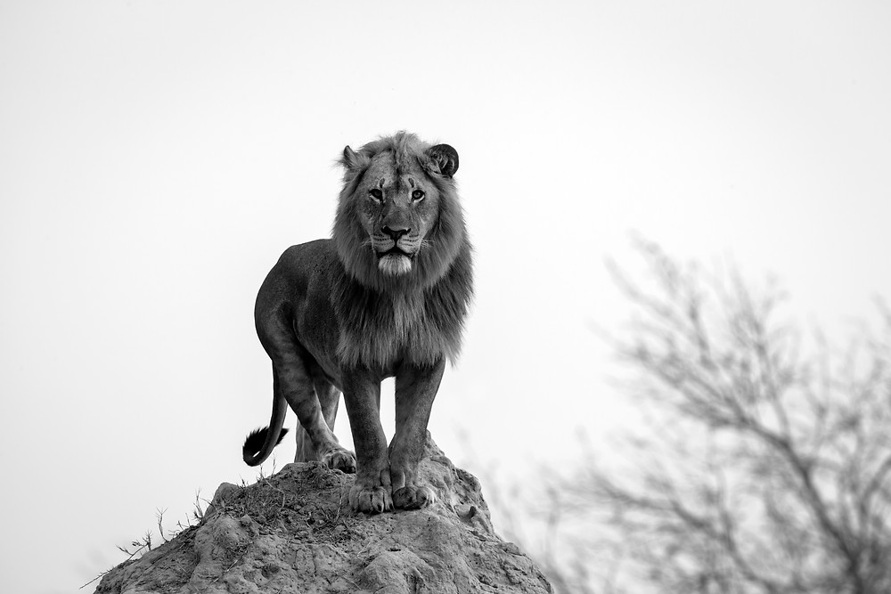 A large male lion looks through the photographer into a herd of buffaloes, Kwando, Botswana