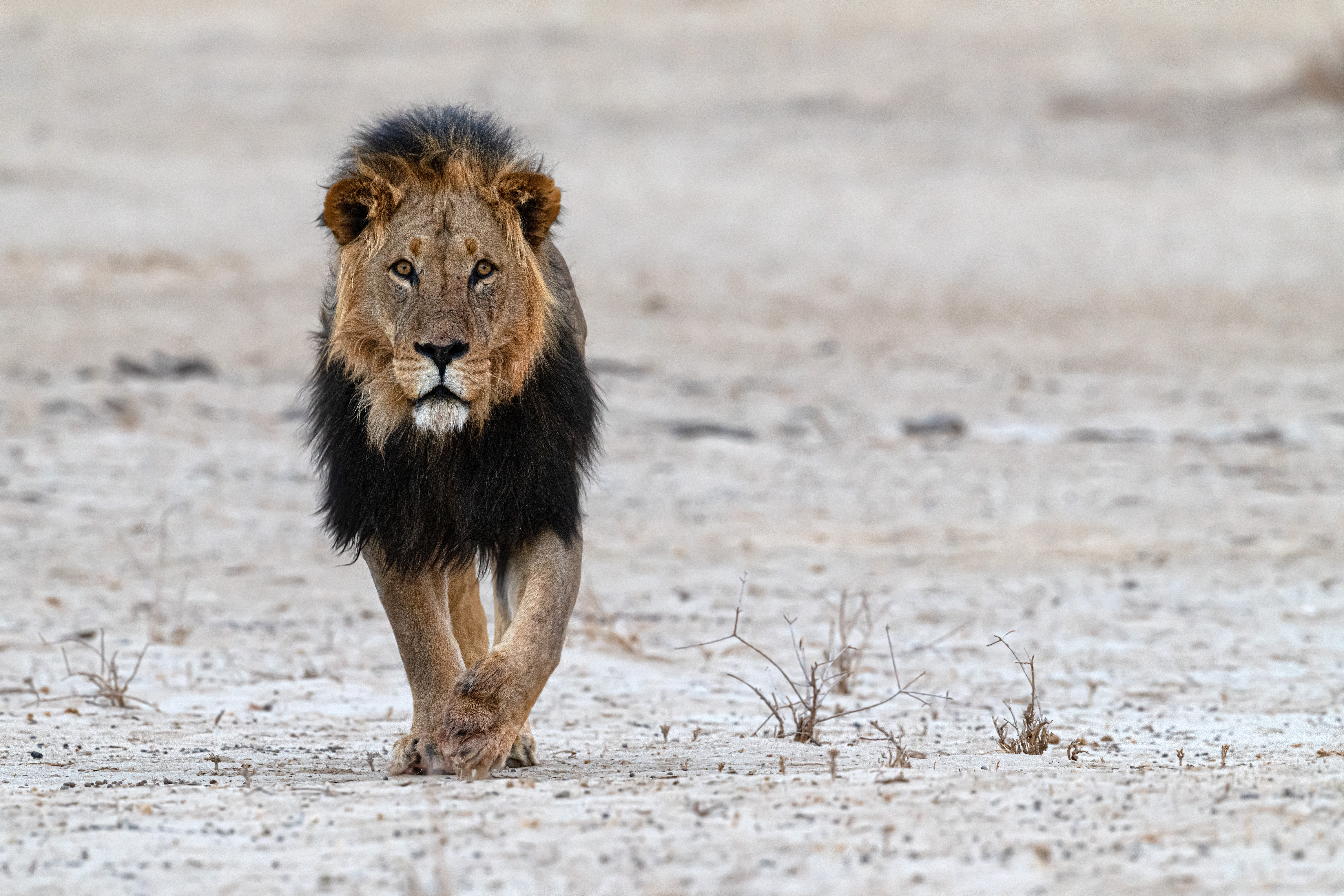 Lion kalahari