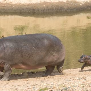 New born hippo