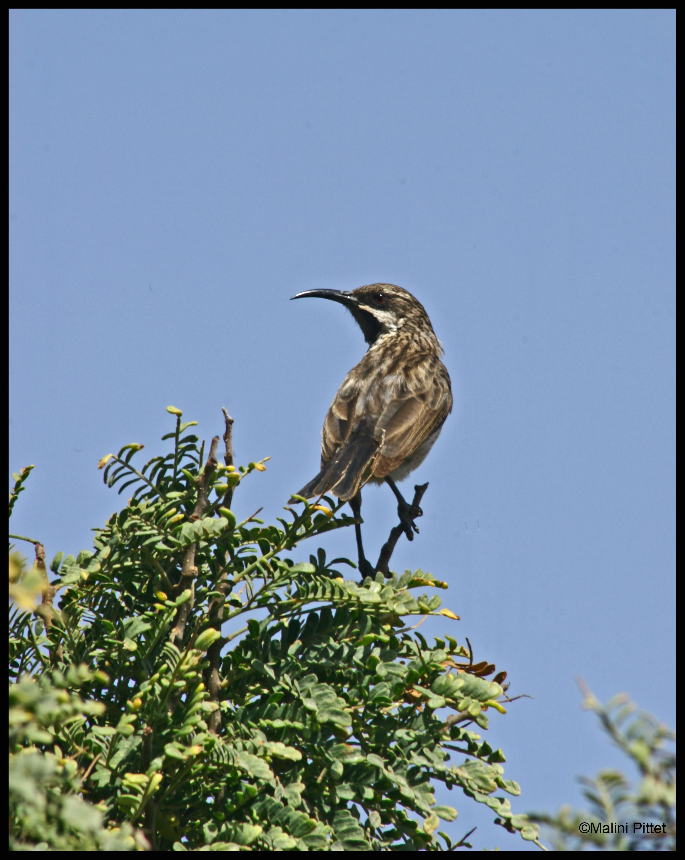 Socotra sunbird