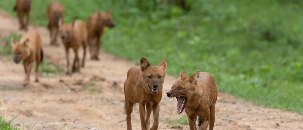 Wild dogs (13).jpg