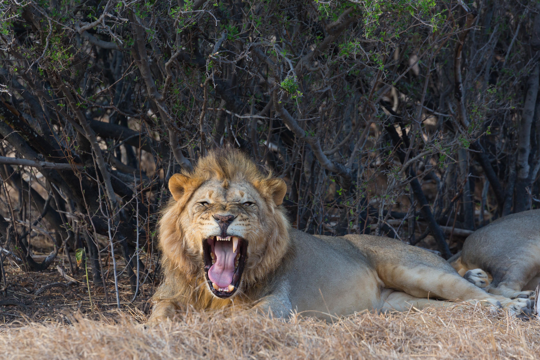 First lion in Mashatu