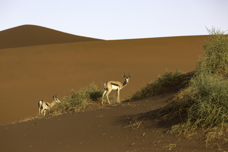 Springbok and dunes