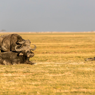Magnificient buffaloes in Ol Donyo