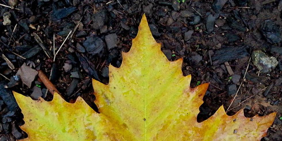 Biggest Maple Leaf Contest