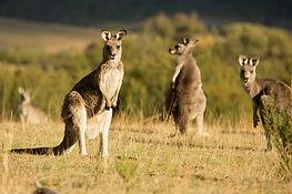 canberra-kangaroo.jpg