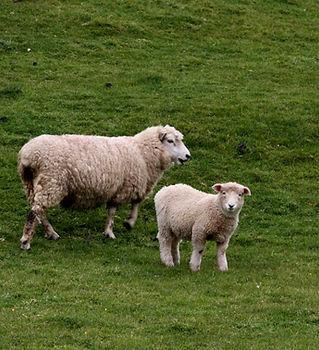 Schafe im Feld