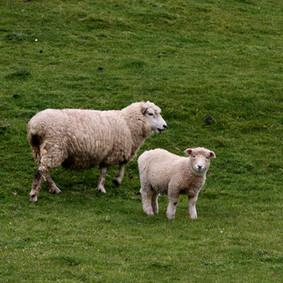 Sheeps in Australia
