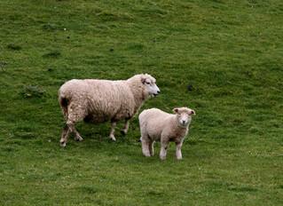 The Lamb's Skin