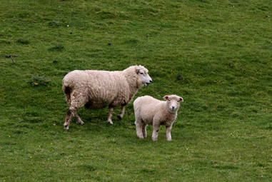 Carneiros no campo