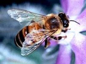 Honey Bee Analysis